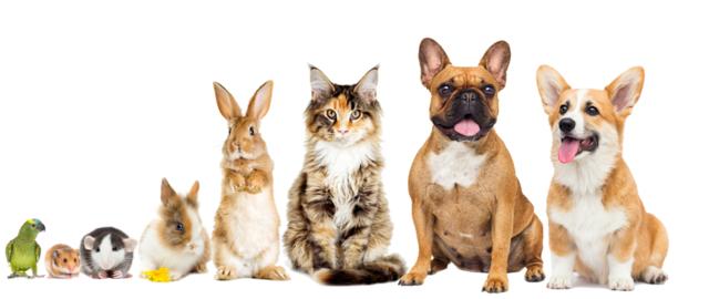 人気犬 人気猫 人気犬種 人気猫種 うさぎ インコ ねずみ チンチラ プードル コーギー フレンチブルドッグ ラブラドールレトリバー  トイプードル チワワ ミニチュアダックス ミニチュアシュナウザー スコティッシュフォールド