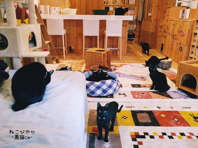 猫カフェ 黒猫カフェ 黒猫 黒猫onlyカフェ 兵庫県 姫路 姫路猫カフェ 猫 猫譲渡 保護猫 猫カフェ cat cafe ねこびやか -黒猫cm cat cafe ねこびやか -88番地-